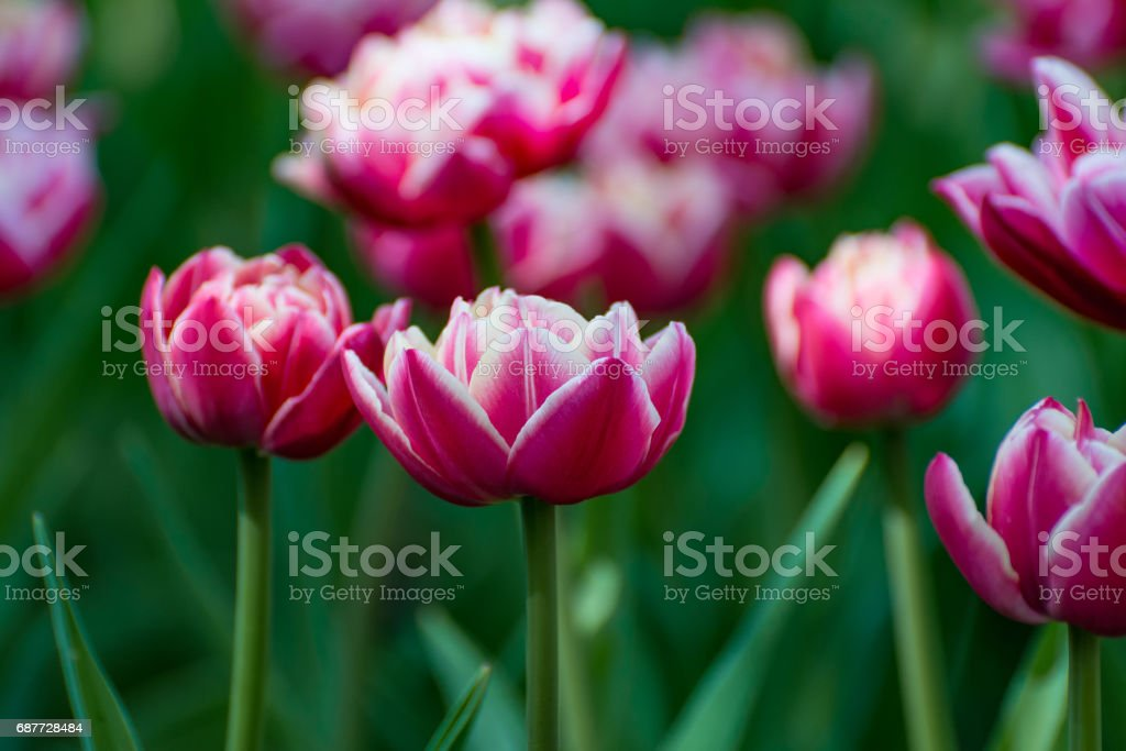 There are many magenta and white tulips in the spring garden. stock photo