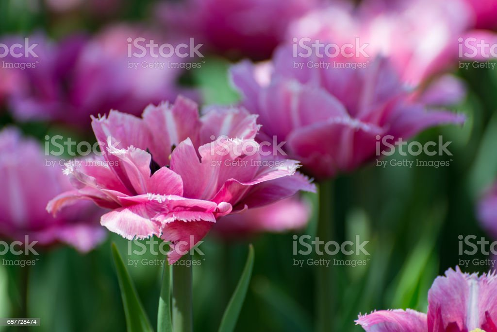 There are many pink tulips in the spring garden. stock photo