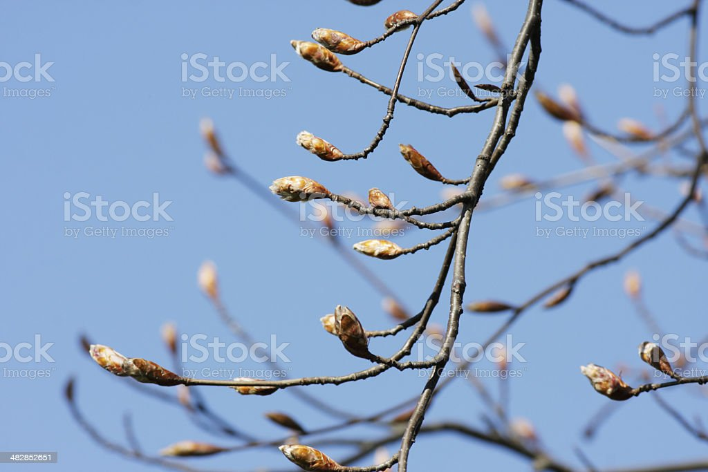 Spring leaf buds on copper beech tree Fagus sylvatica variety royalty-free stock photo