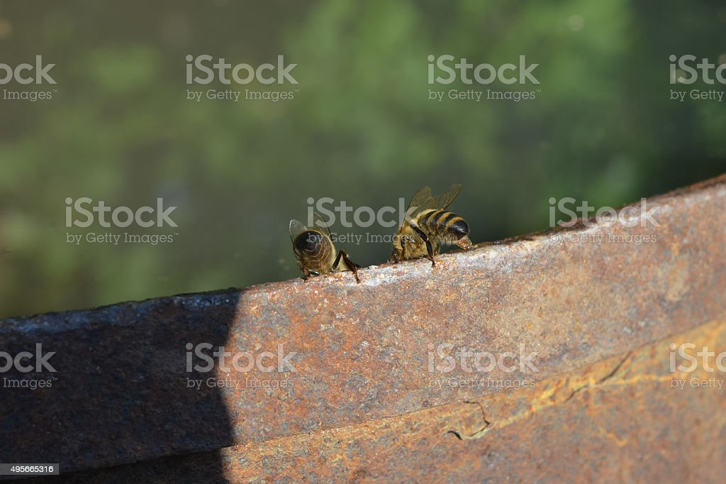 There are two bees on the edge of the barrel stock photo
