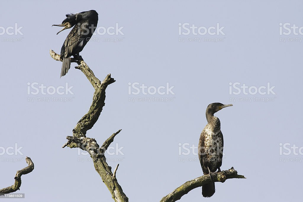 Timeless silhouettes of two cormorants on bare branches stock photo