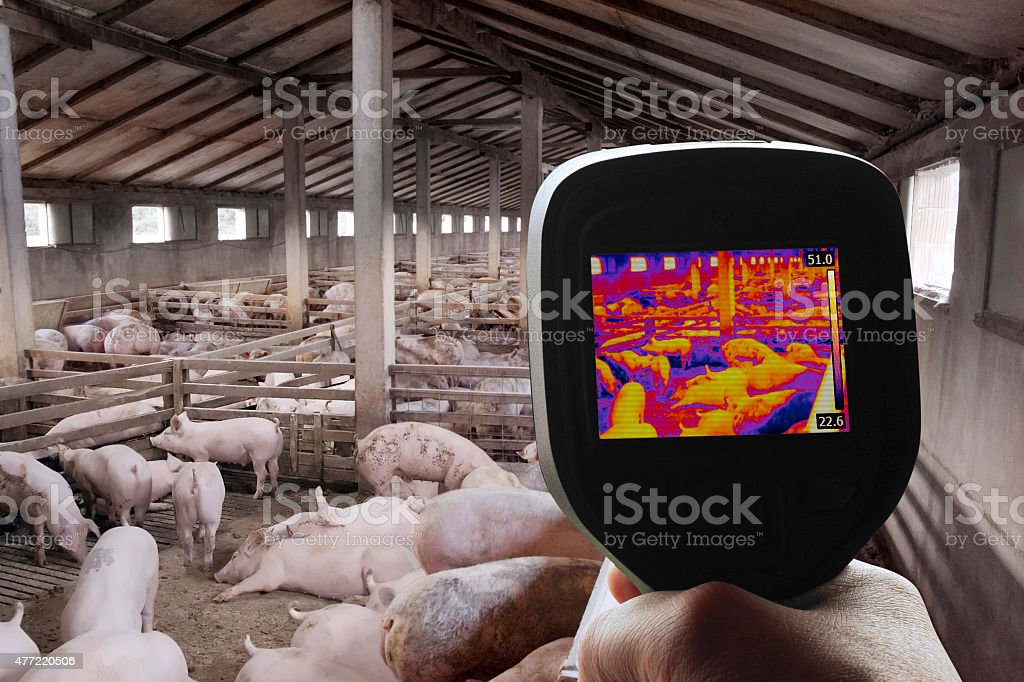 Thermal Image of Pig Farm stock photo