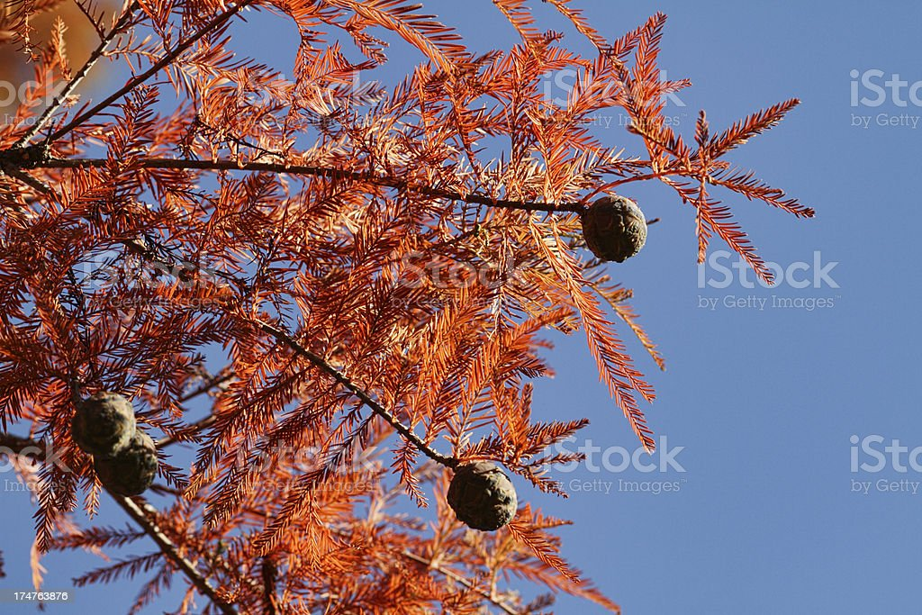 Dawn redwood Metasequoia glyptostroboides cones and autumn leaves royalty-free stock photo