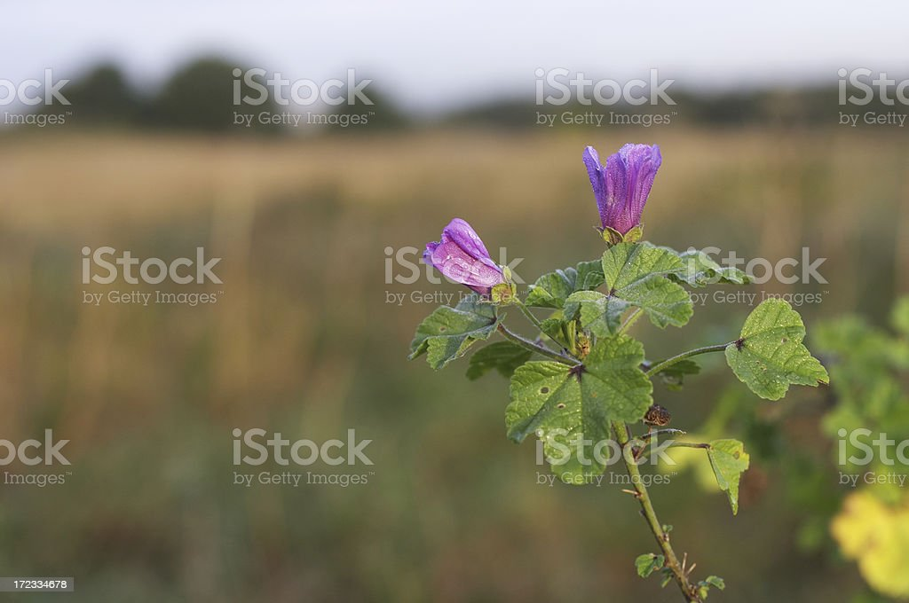Common mallow flowers closed at dawn stock photo