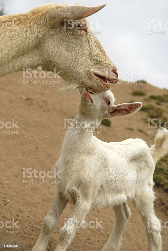 These Kid goat is looking for affection stock photo