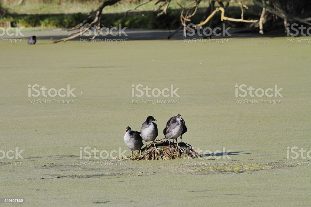 Three coot chicks Fulica atra on eutrophic lake stock photo