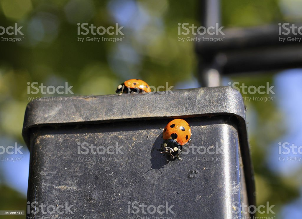 Many-spotted harlequin ladybirds on rubber rubbish container stock photo