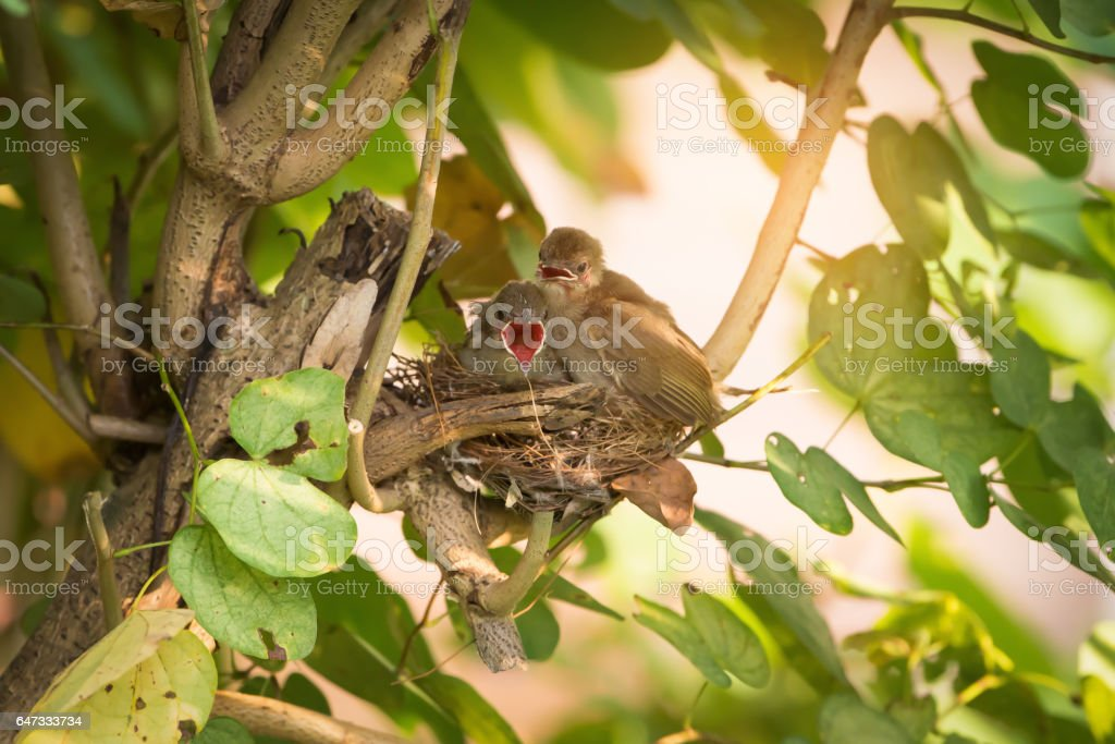 They believe they can fly. Juvenile birds,streak eared bulbul ( pycnonotus blanfordi ) perching on the nest edge opening mouth widely and ready to leave nest . stock photo