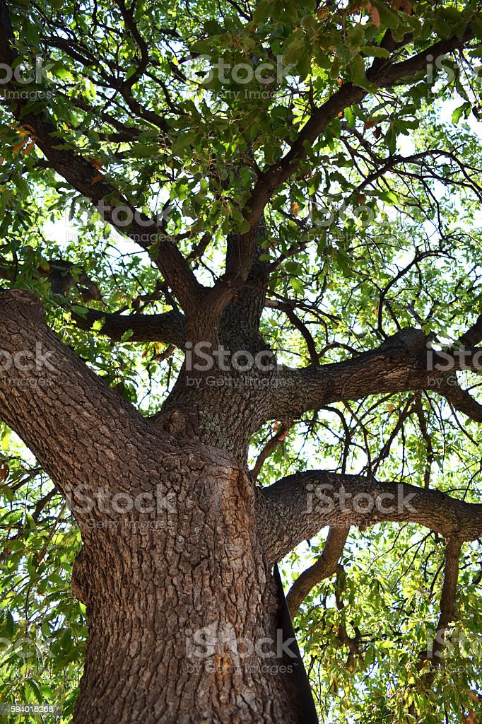 Thick branches of a tree stock photo