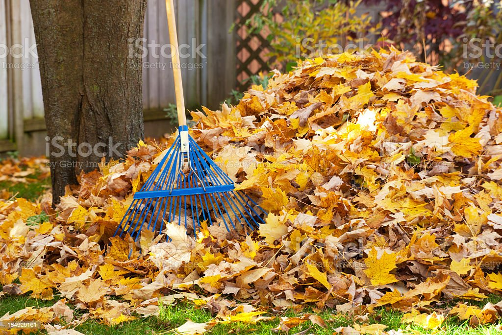 Thick pile of golden leaves and blue rake for cleaning stock photo