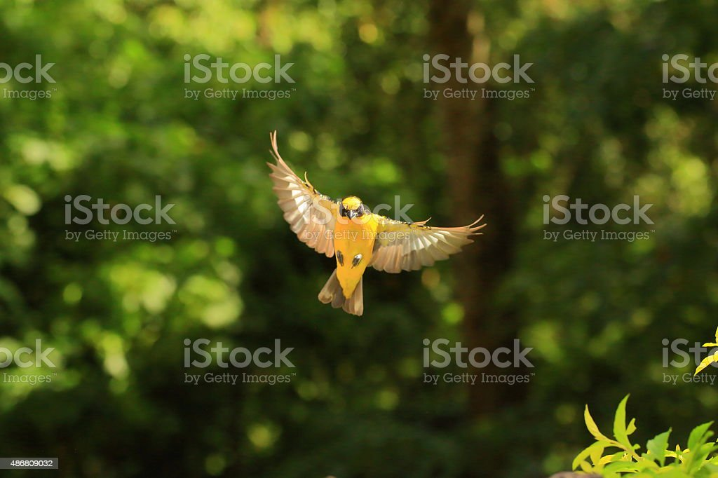 Thick-bill Euphonia Flying Open Wings stock photo