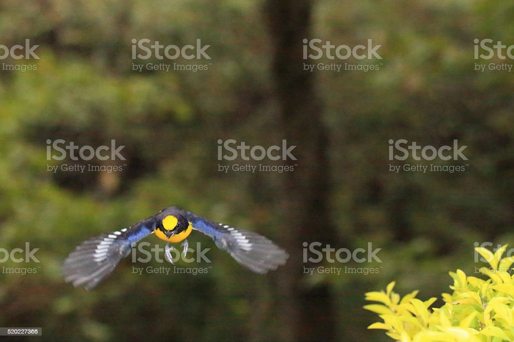 Thick-billed Euphonia Wings Spread Open stock photo