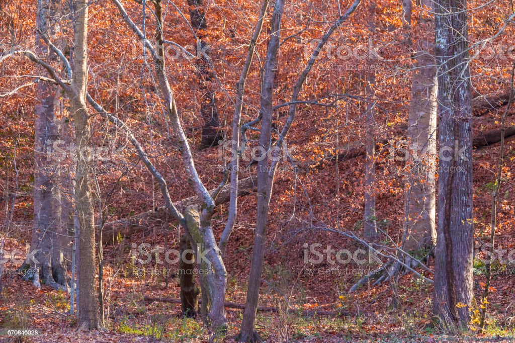 Thicket of bare trees stock photo
