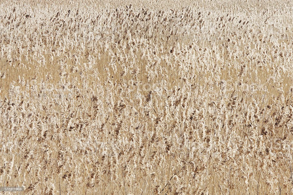 Thicket of dry reeds royalty-free stock photo