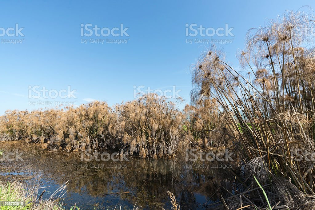 Thicket of Papyrus plant in Galilee. royalty-free stock photo