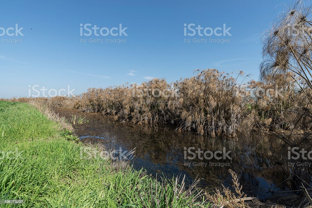 Thicket of Papyrus plant in. royalty-free stock photo