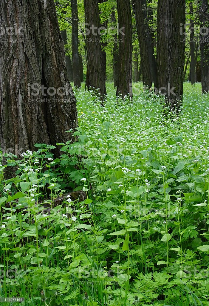 Thicket of the forest royalty-free stock photo