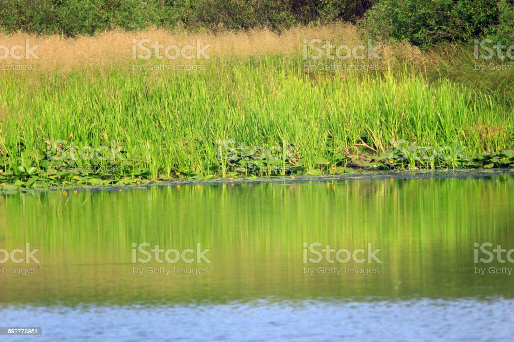 thicket on the pond stock photo
