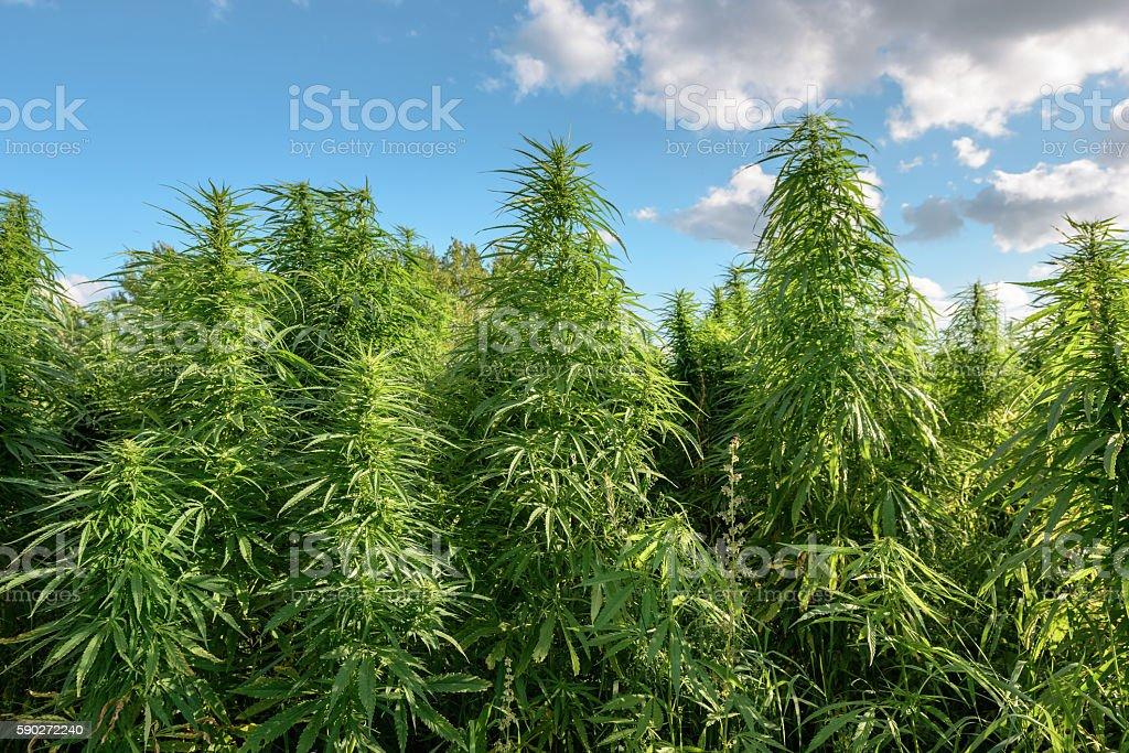 Thickets of marijuana stock photo