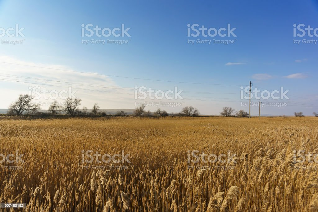 Thickets of reed (lat. Phragmites) along the estuaries of the Taman Peninsula in winter stock photo