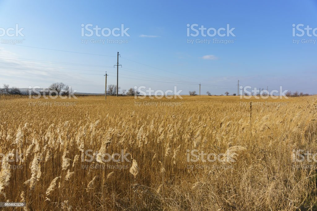 Thickets of reed (lat. Phragmites) along the estuaries of the Taman Peninsula stock photo
