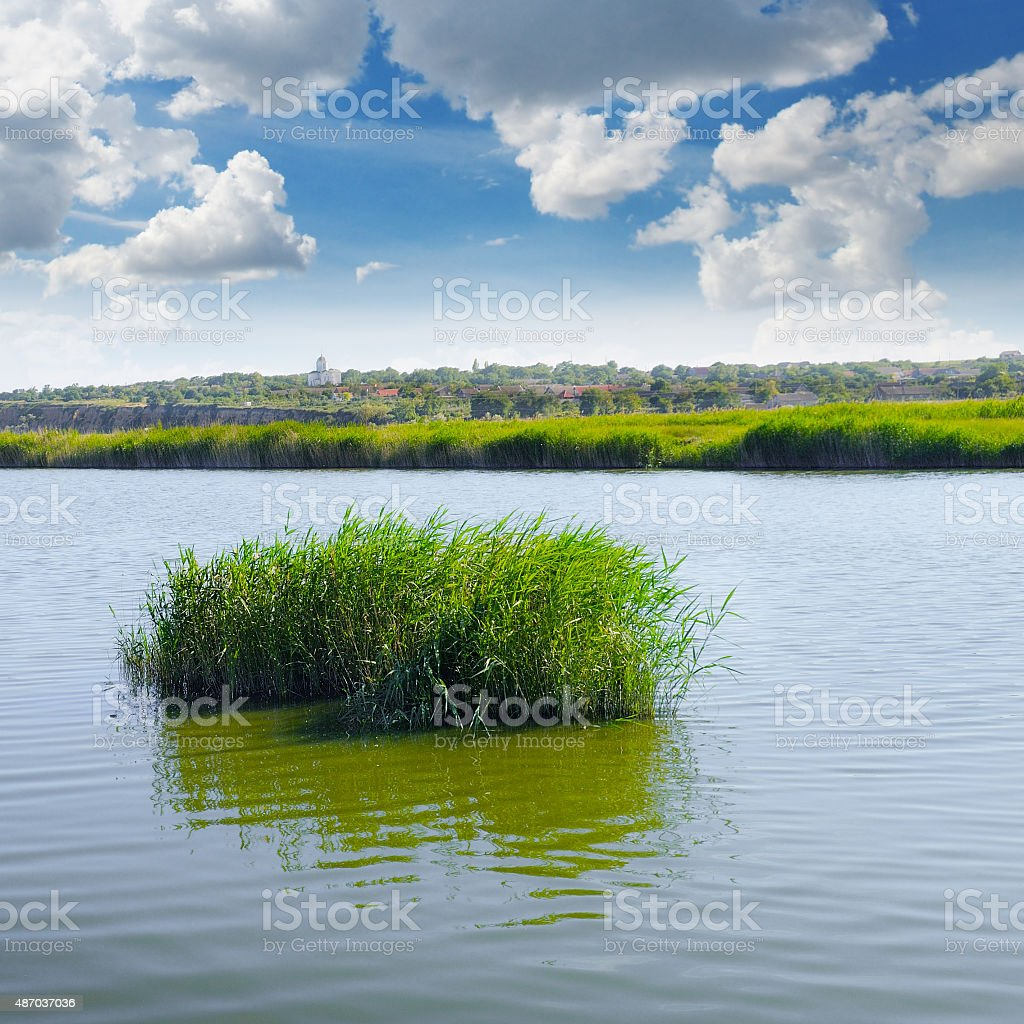 thickets of reeds on the lake stock photo