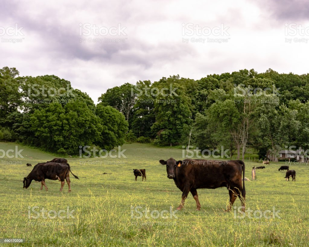 Thin commercial cows on spring pasture stock photo