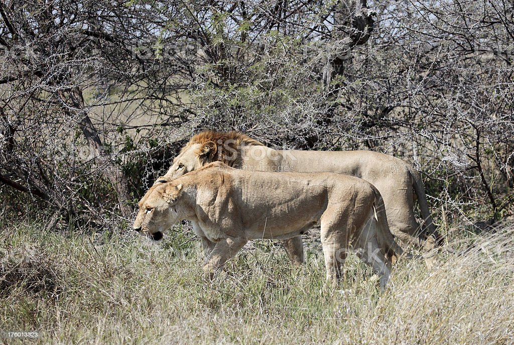 Thin Lion and Lioness during mating cycle stock photo