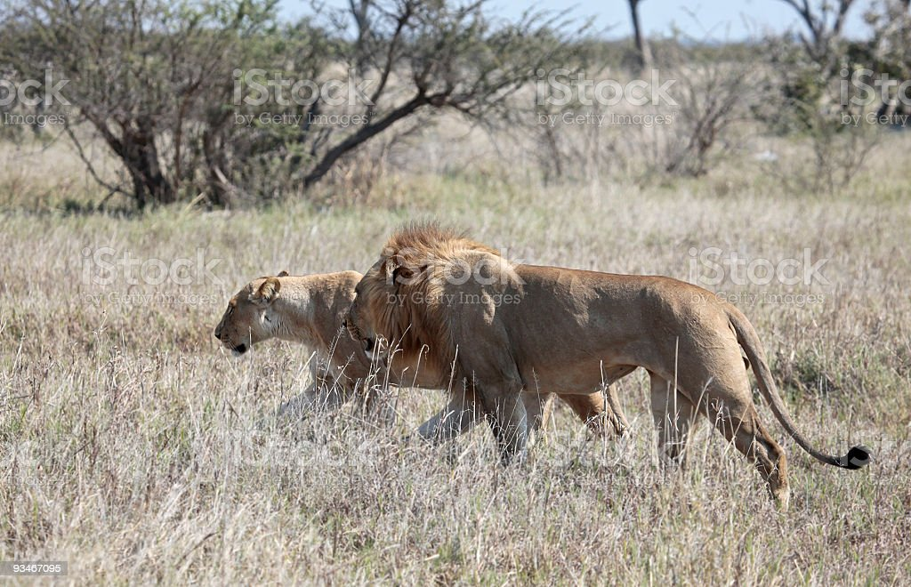 Thin Lion and Lioness during mating cycle royalty-free stock photo