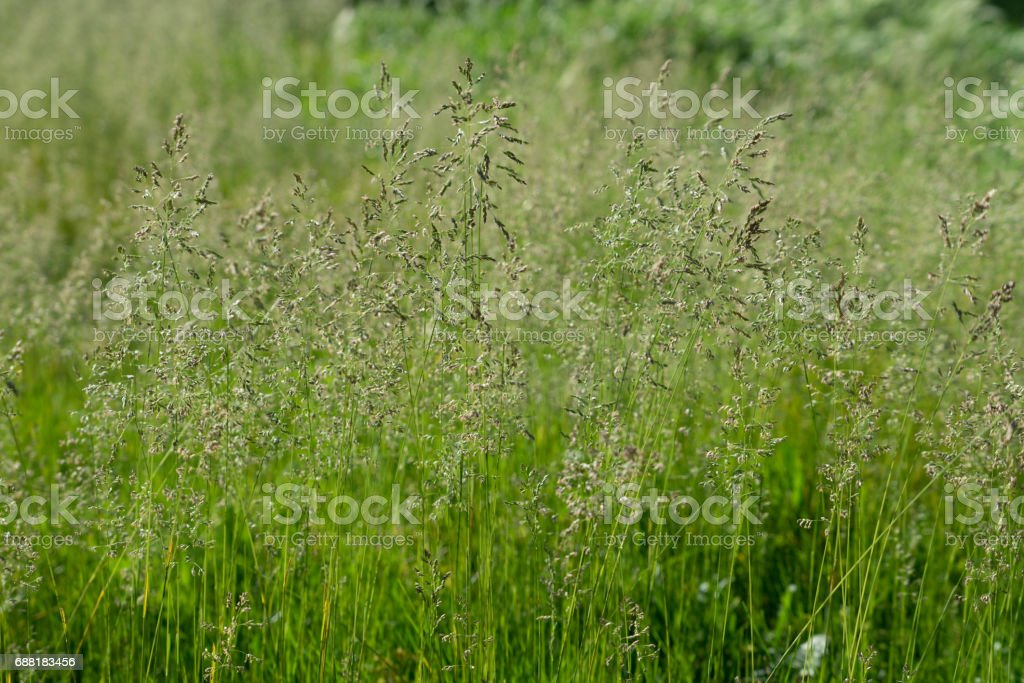 Thin stalks of grass on a green background in Sunny weather stock photo