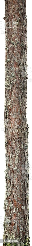 Thin tree trunk isolated on a white background stock photo