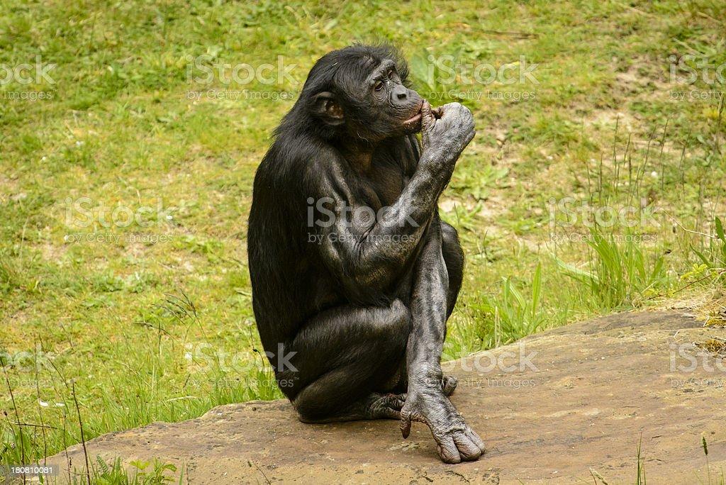Thinking Chimpanzee stock photo