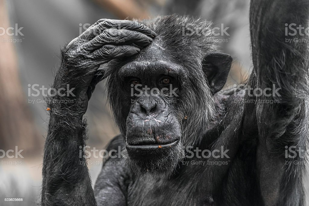 Thinking chimpanzee portrait close up stock photo