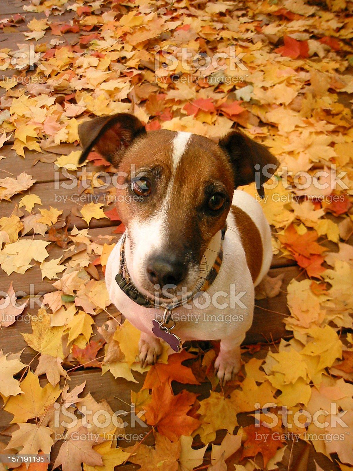 Thinking Dog royalty-free stock photo