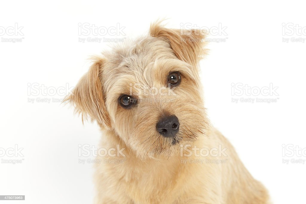 Thinking Dog royalty-free stock photo