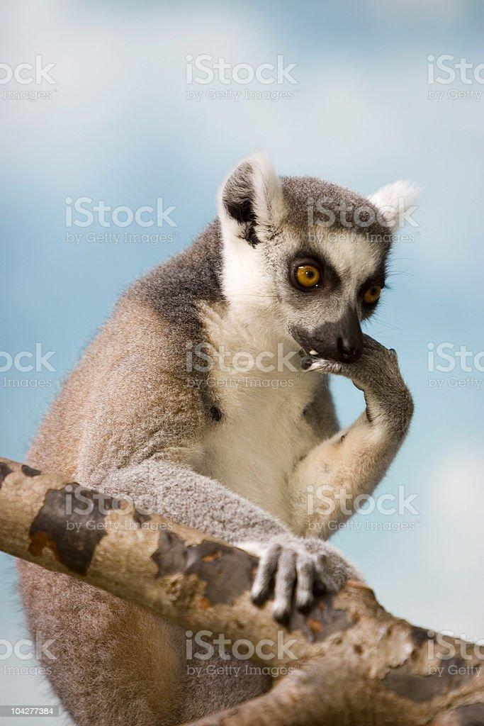 Thinking Lemur Resting on Tree Branch royalty-free stock photo