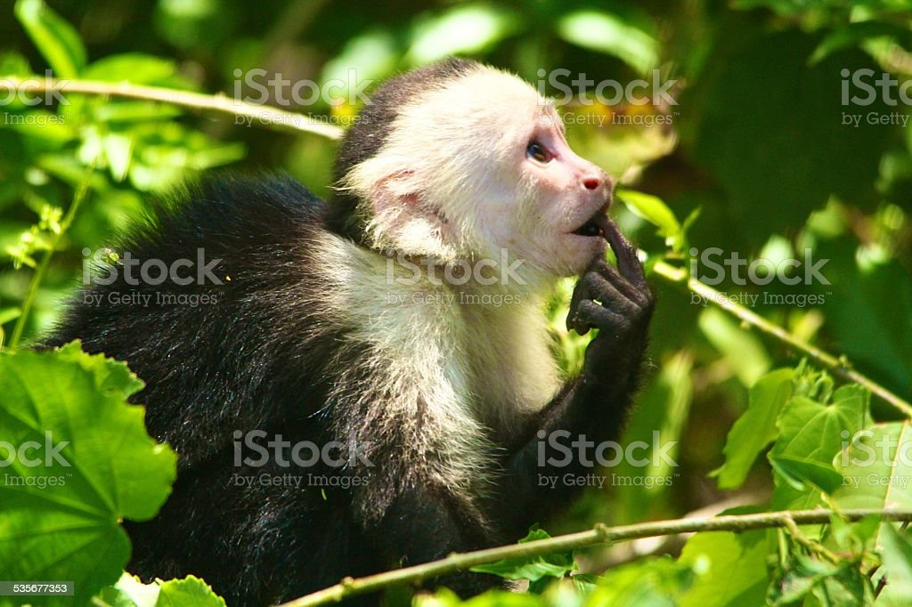 thinking monkey stock photo