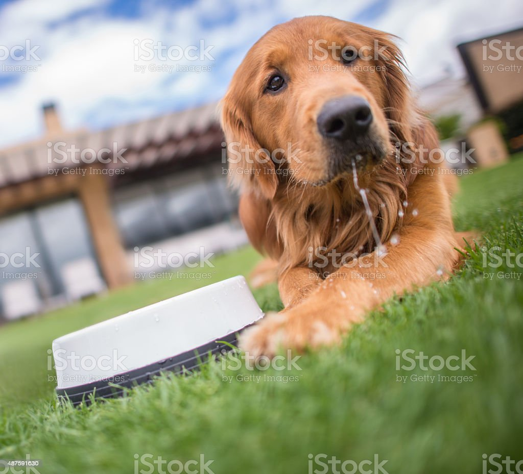 Thirsty dog drinking water stock photo