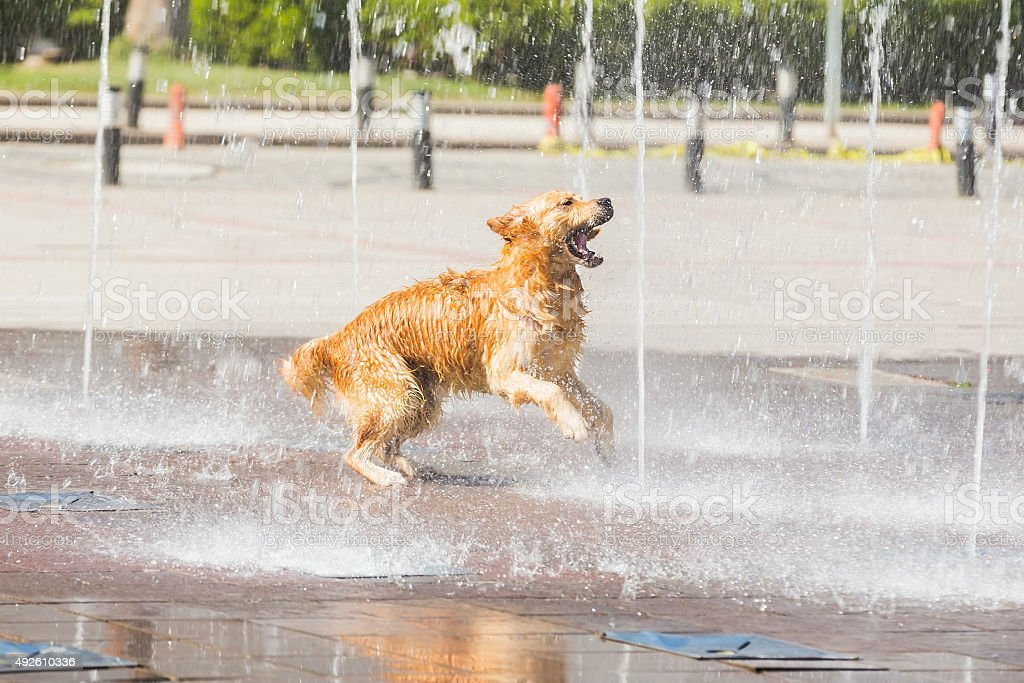 Thirsty dog stock photo