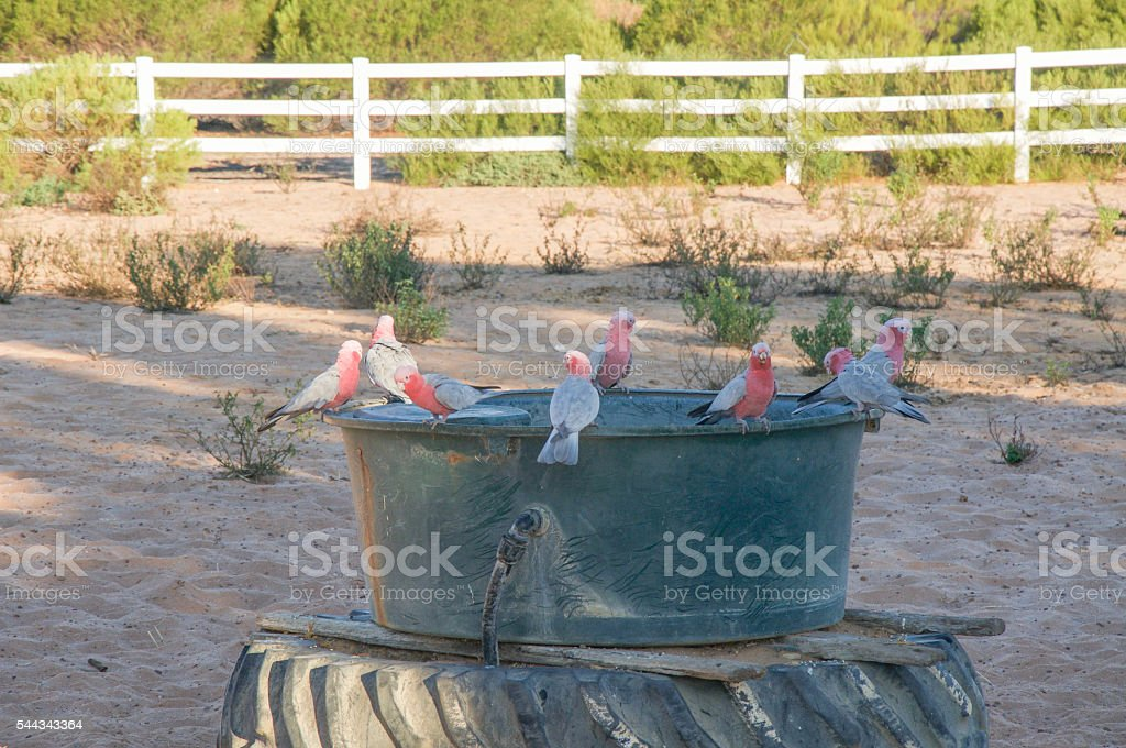 Thirsty Galah Cockatoos stock photo