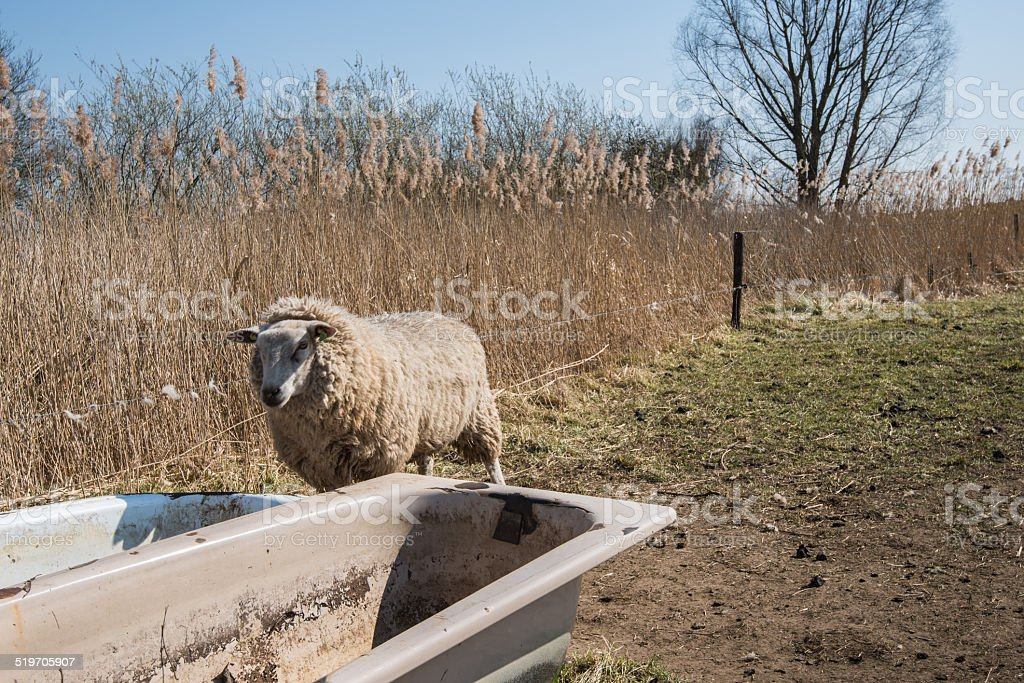 Thirsty sheep looks in an empty bathtub stock photo