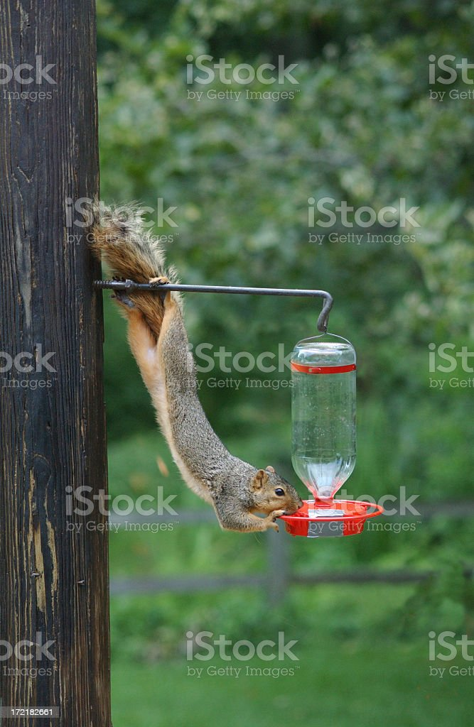 A thirsty squirrel getting water from a bird feeder stock photo