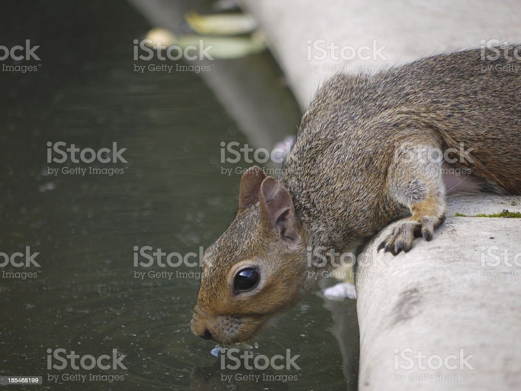 Thirsty Squirrel royalty-free stock photo