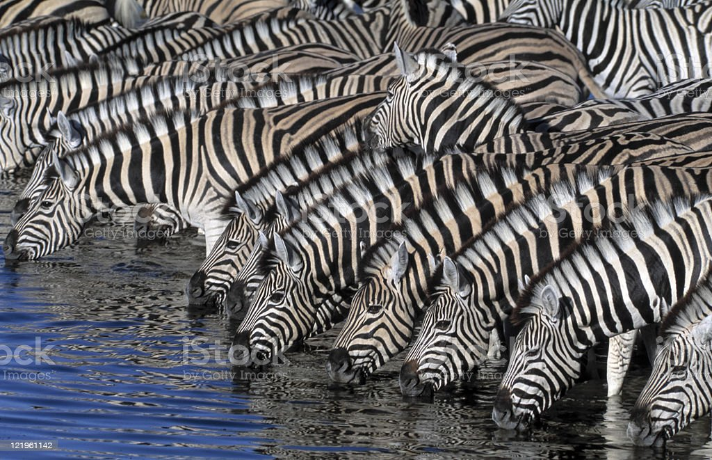 thirsty zebras stock photo