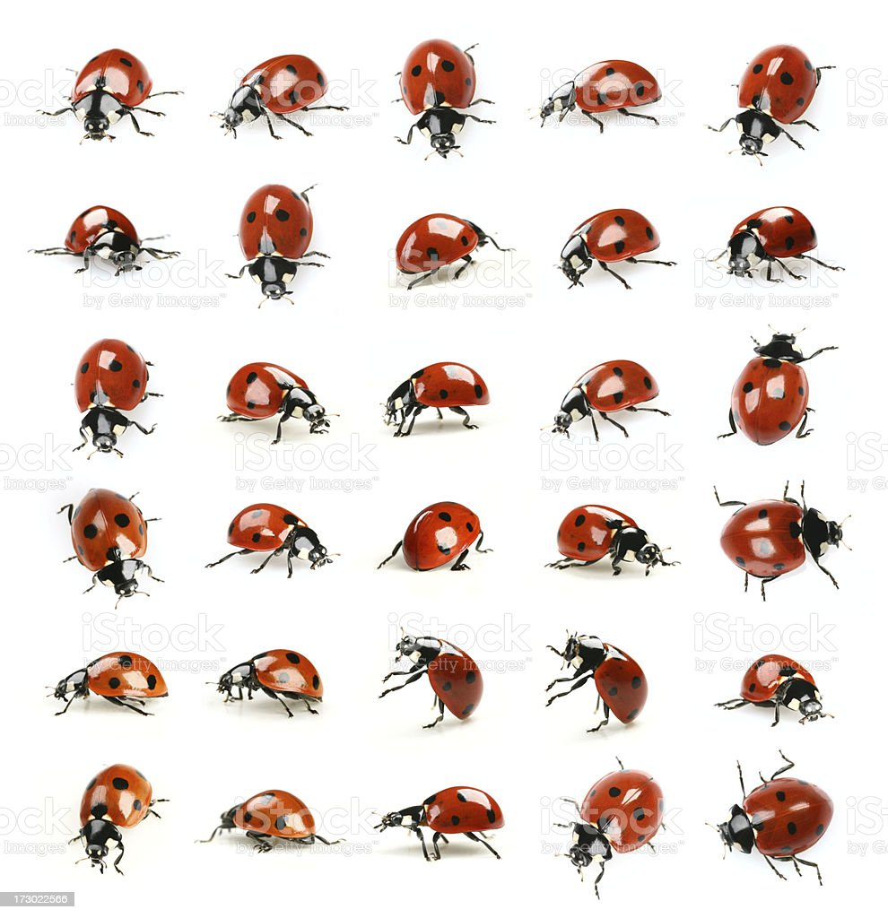 thirty ladybugs royalty-free stock photo