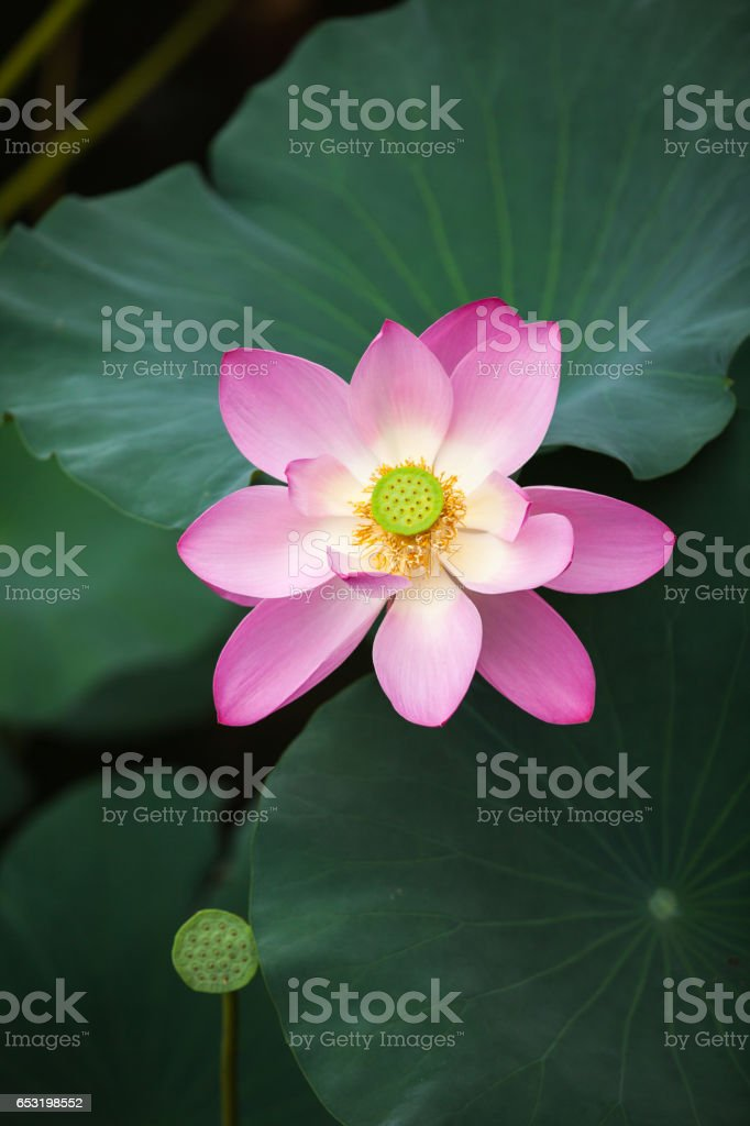 This beautiful  lotus flower is complimented by the rich colors of the deep blue Lotus leaf stock photo