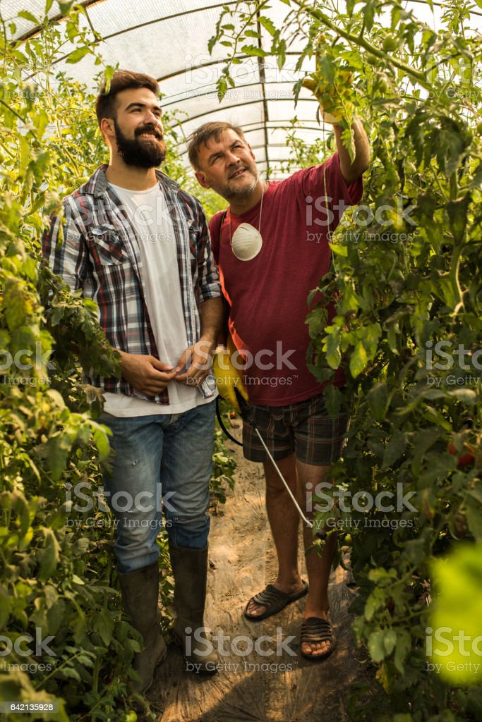 This branch will be full of tomatoes! stock photo