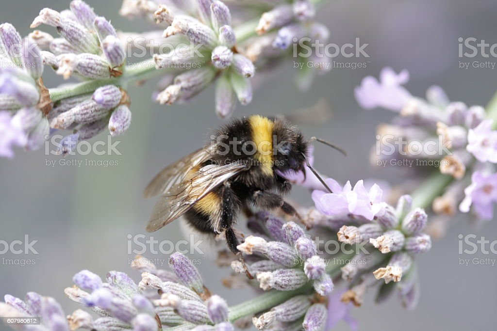 This bumblebee is shopping for nectar stock photo