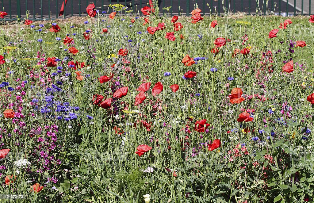 Running wild herbaceous border July in Merton royalty-free stock photo