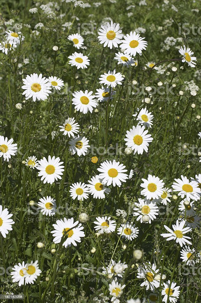 Cluster of white ox-eye daisies in a field stock photo